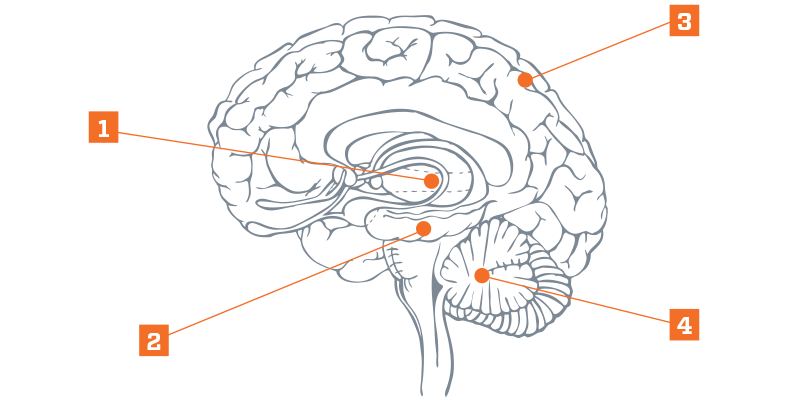 Diagram of the brain with four parts labeled.