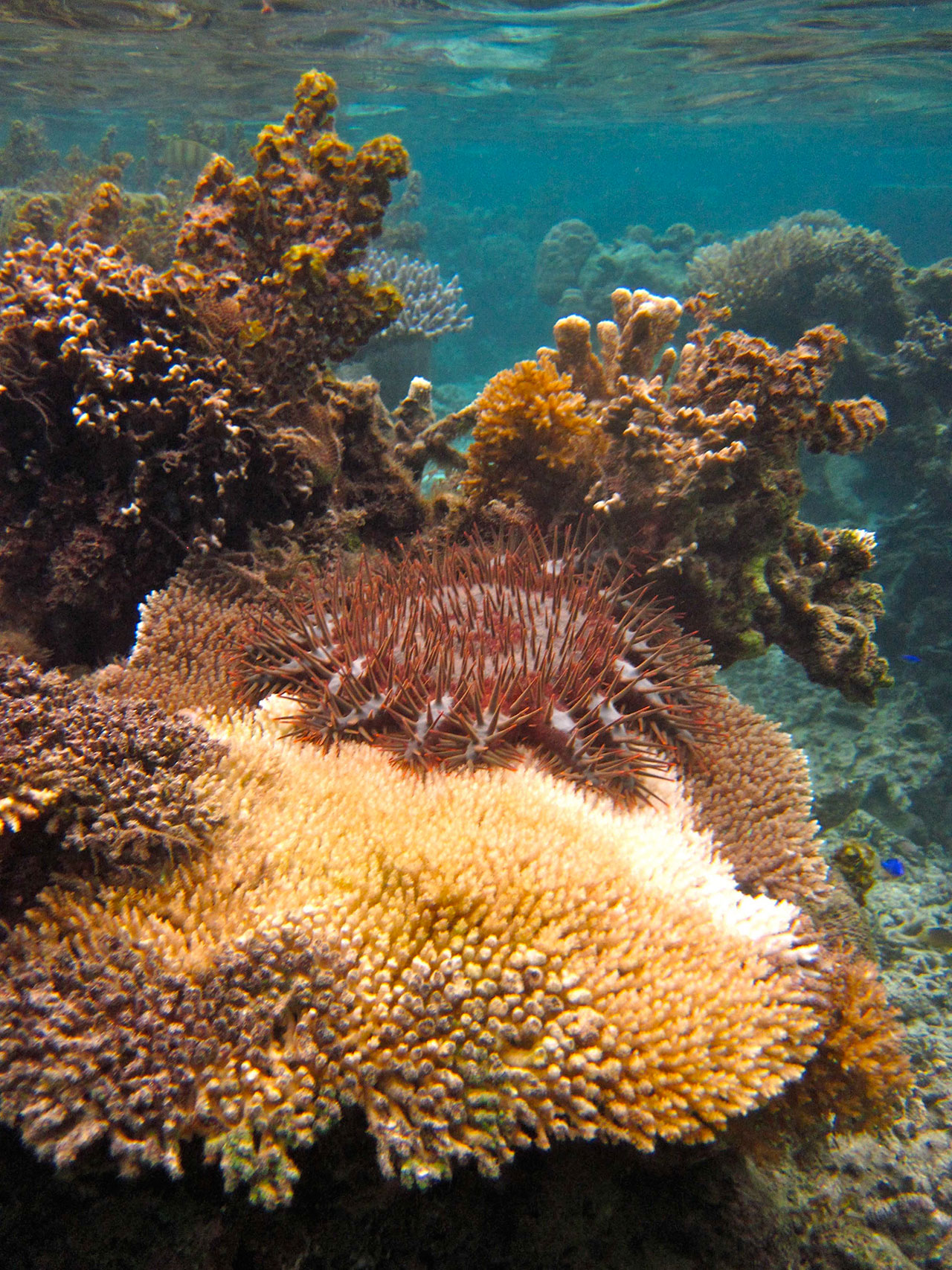 A crown of thorns sea star under the water on a reef, eating a large piece of coral