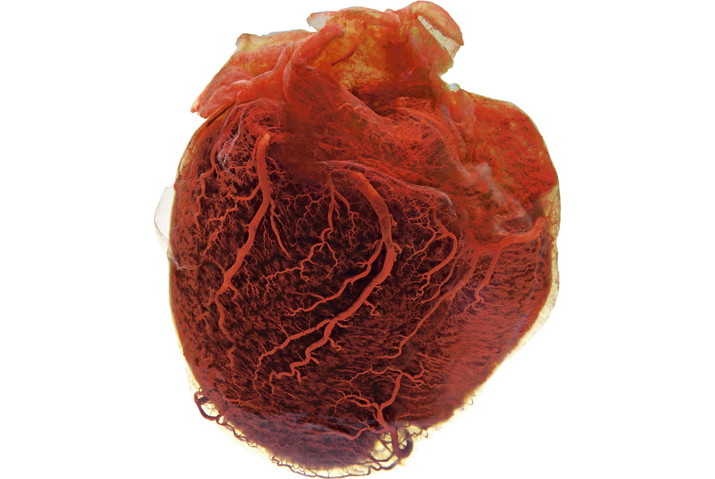 photo realistic illustration of human heart