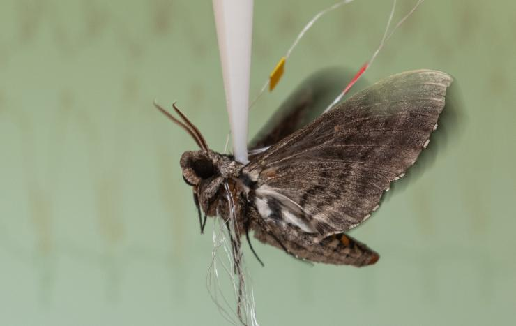 A moth has wires connected to it