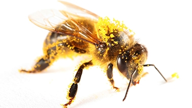 Closeup of a honeybee covered in pollen