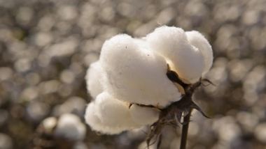 Cotton for fuel cells