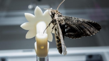 Hawk moth on robotic flower2