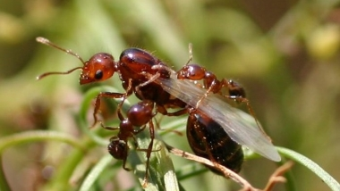 queen and worker fire ants