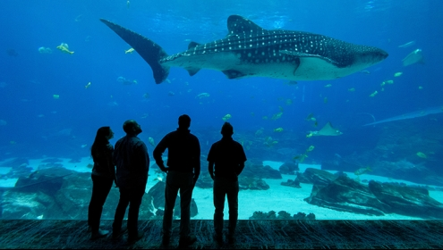 Four people silhouetted in front of a giant aquarium, watching a whale shark