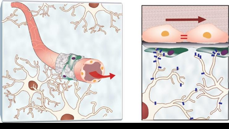 Blood-brain barrier illustration in natural setting