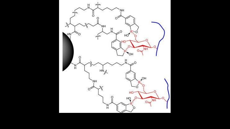 Chemical octopus grabbers bond on two places with sugary glycans