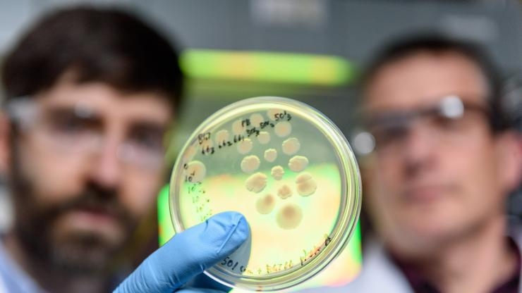 Competing strains of cholera bacteria in petri dish