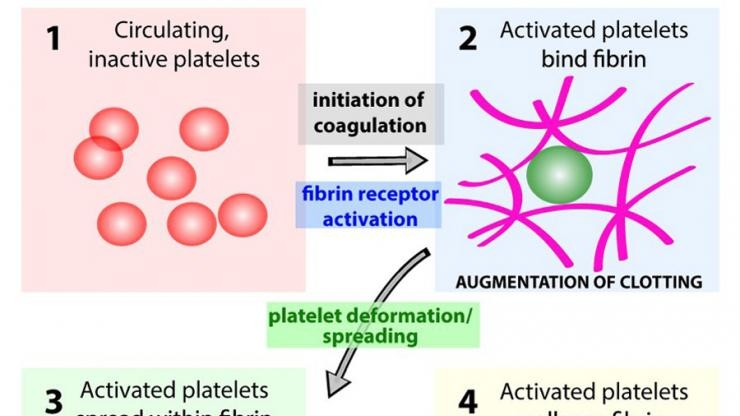 Platelet activation steps