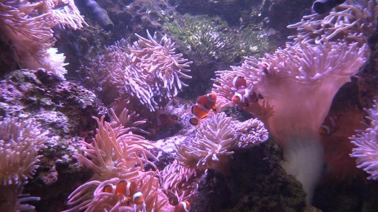 Clownfish mingle in anemones