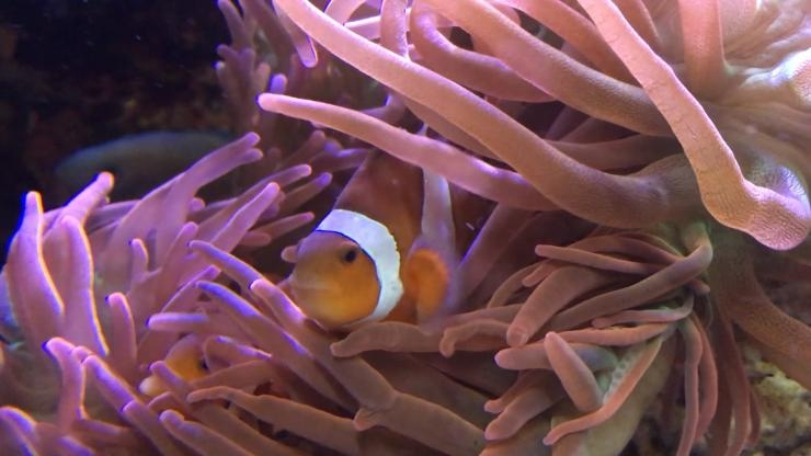 Clownfish in anemone 2