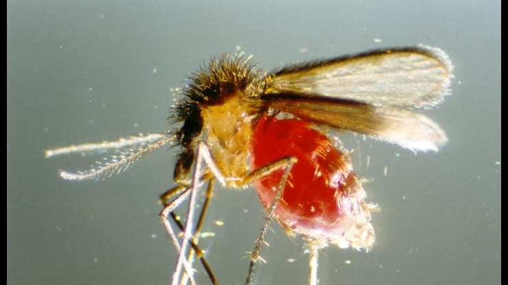 Phlebotomine sand fly