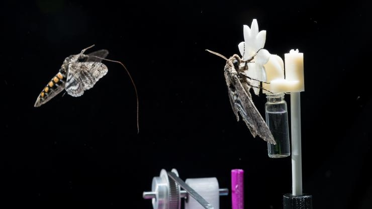 Two hawkmoths