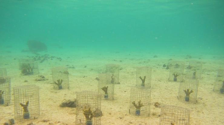 Coral caged with snails to measure feeding impact