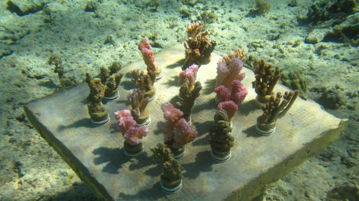 A variety of coral species growing in Georgia Tech's underwater reef garden near Mo'orea, French Polynesia. (Photo Cody Clements)