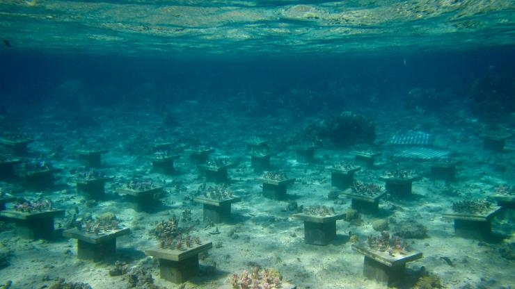 The underwater coral gardens near Mo'orea, French Polynesia. (Photo Cody Clements)