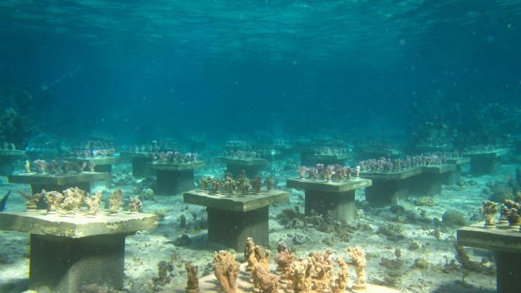 Coral diversity on display in the underwater gardens set up by Georgia Tech researchers near French Polynesia. (Photo Cody Clements)
