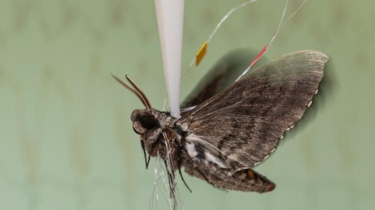 Recording hawk moth brain signals