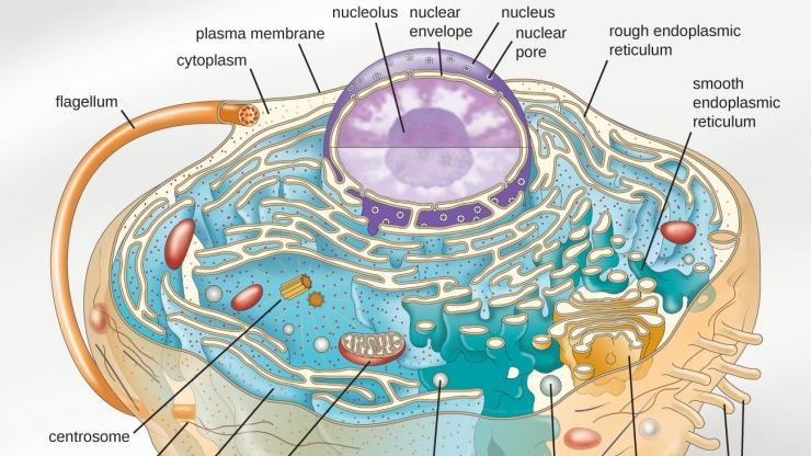 Nucleolus is membraneless organelle