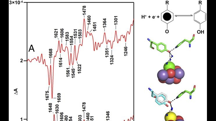 Metal cluster and tyrosine at the core of O2 creation in photosystem II