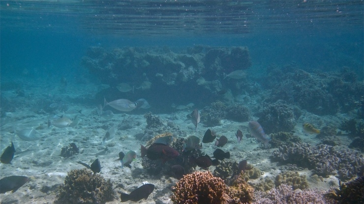 Fish grazing on coral reefs
