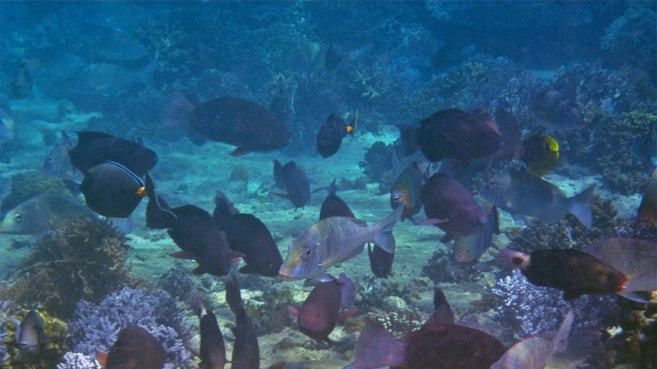 Close-up fish grazing on coral reefs