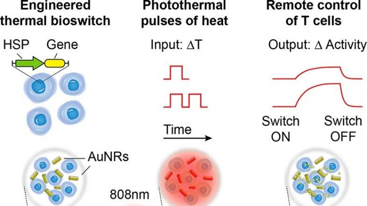 NIR shines on gold nanorods in tumor to flip a genetic switch in T-cells