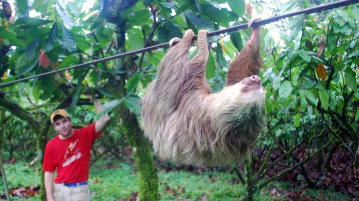Sloth moving along a cable
