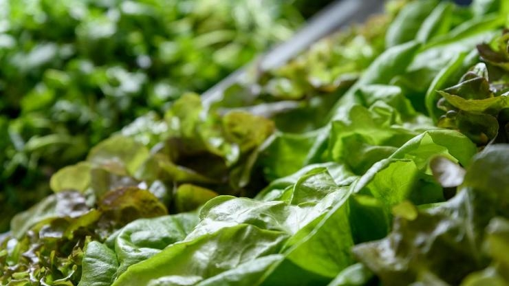 Wastewater Grant Lettuce